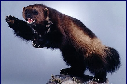 Save the Wolverines